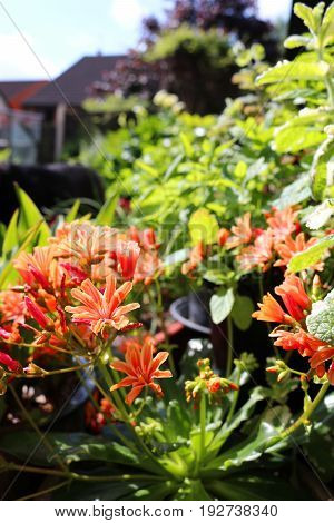 Orange lewisia growing in an urban garden