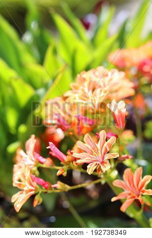 The flowers of an orange lewisia rock plant