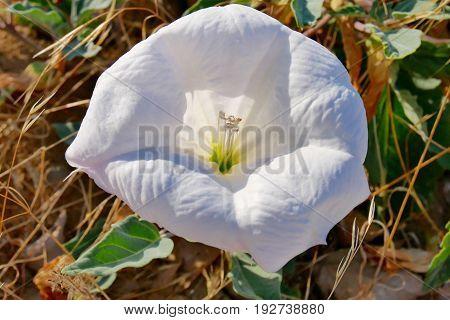 Datura flower,Devil's flower,, Angel's flower in the garden.