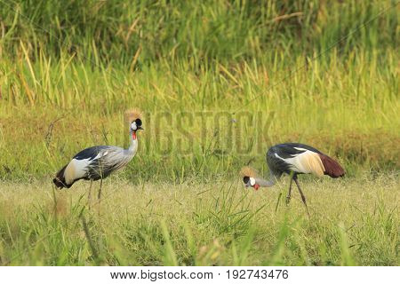 Pair of Crested Cranes