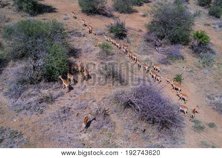 Impala and African Landscape. Aerial drone photo