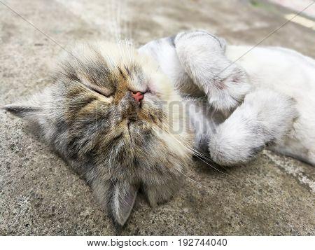 Thai cat lying on the floor in Thailand