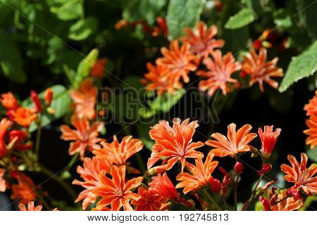 A lewisia plant in full bloom in a garden