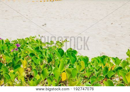Foot Creeper Plant Nature At Sea Beach Summer Holiday Background.
