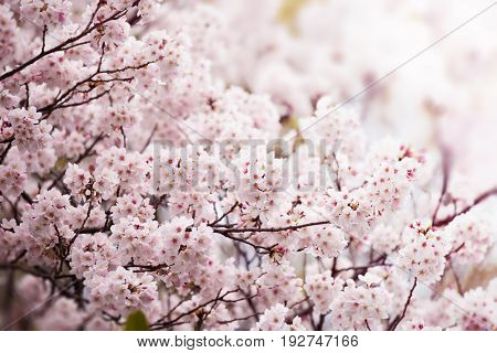 Sakura or Cherry blossom in full bloom. Cherry flowers in small clusters on a cherry tree branch,branches upward, fading in to white. Shallow depth of field. Focus on center flower cluster.