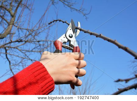 Gardener hand cut tree branch with bypass secateurs. Pruning Fruit Tree.