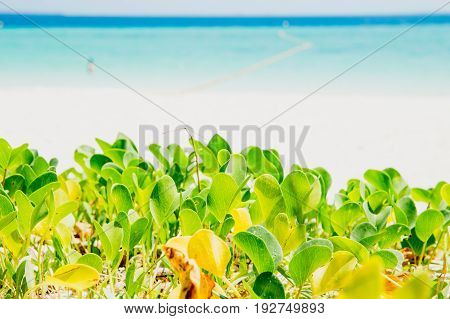 Sea Beach Ocean Summer Holiday Background, Foot Creeper Plant Nature.