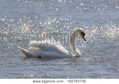 Beautiful serene nature image of mute swan (Cygnus olor) on water bathed in sunshine. Glistening lake with majestic bird. Peaceful white bird a symbol of purity.