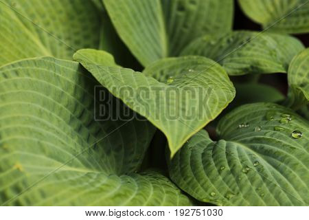 A close up showing green hosta leaves