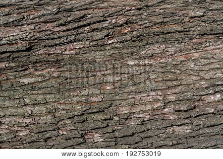 Old natural wooden shabby background . Wood Texture. Bark of tree.