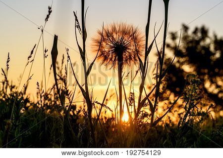 Beautiful floral background with a big white fluffy dandelion flower Tragopogon pratensis close-up in the grass on a meadow in the sunset light