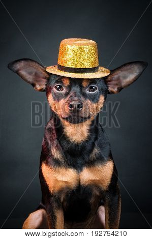 Puppy, dog, toy terrier portrait on a black background. Portrait of dog. Ladies and gentlemen. The concept of duality. Toy terrier in a hat.