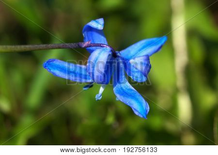 Blooming flower scilla in the spring forest.