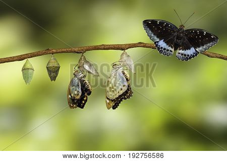 Transformation Of Male Common Archduke Butterfly Emerging From Chrysalis ( Lexias Pardalis Jadeitina