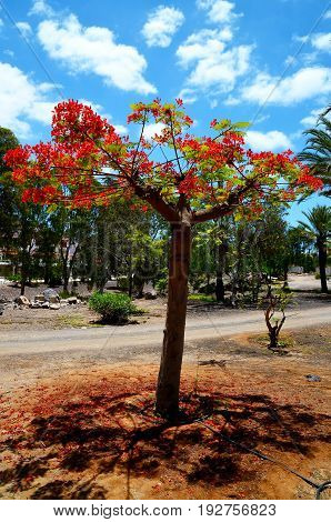 Blooming Flamboyant tree (Royal Poinciana,Delonix regia,Flame tree) in the park of Tenerife,Canary Islands,Spain.