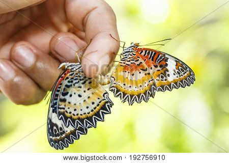 Mating Leopard Lacewing (cethosia Cyane Euanthes) Butterfly Hanging On Human Finger