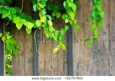 Green ornamental climbing plants on wooden door