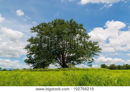 Big Tree in Woods of Green Grass Field under Cloudy Blue Sky