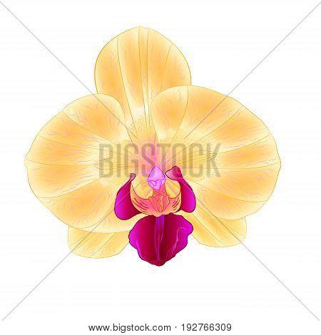 Beautiful Yellow Orchid Phalaenopsis flower closeup isolated vintage vector illustration editable hand draw