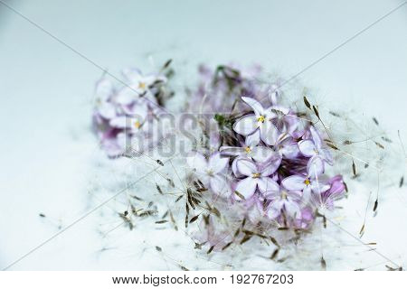 Lilac flowers and dandelion seeds on a white background. A good combination, the flowers seem to be under a soft quilt of feathers.