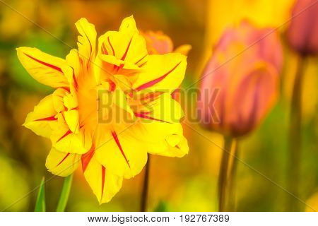 Tulips (tulipa) blooming in spring time, dyed with a wide variety of colors