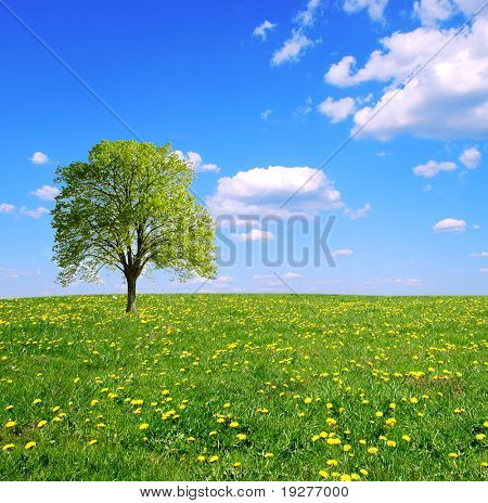 Spring field,lone tree and blue sky.