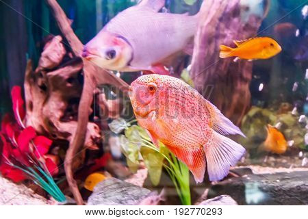 Fish cichlasoma severum red pearl in aquarium and other fishes