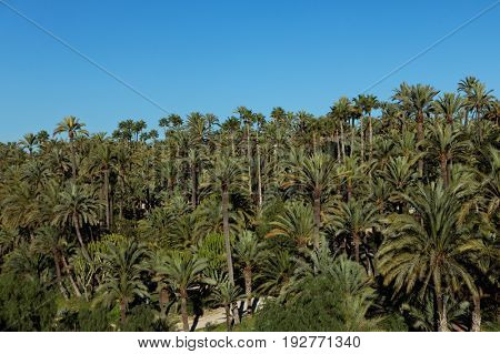 Palmeral of Elche, Spain, the most southern palm grove in Europe