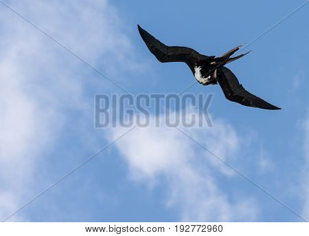 Great frigatebird cleanings its feathers while flying above Kilauea point in Kauai