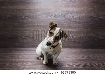 Pretty puppy is staring with curiosity. Jack Russell Terrier in front of dark wooden background.