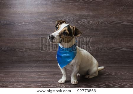 Pretty puppy is staring with curiosity. Jack Russell Terrier in a trendy blue bandana. Dog in front of dark wooden background.