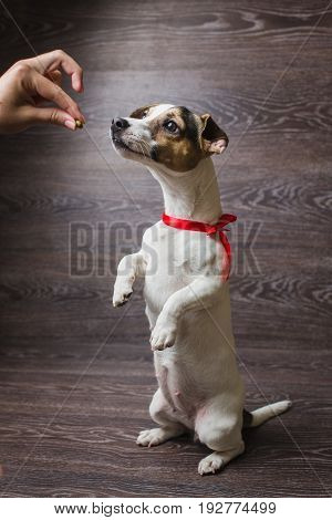 Cute dog standing on two legs begging food. Jack Russell Terrier in front of dark wooden background.