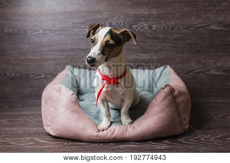 Jack Russell Terrier in lounger dog bed. Dog in front of dark wooden background.
