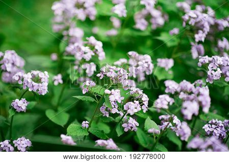 Perennial honesty or Lunaria rediviva flowers macro with dark bokeh background, selective focus, shallow DOF