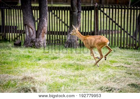 young running deer on green pasture