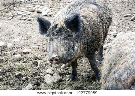 portrait of alone wild boar