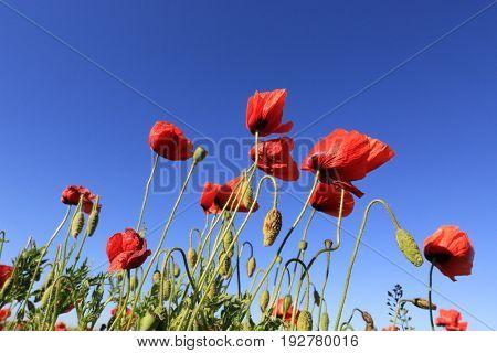 red poppy flowers on summer meadow