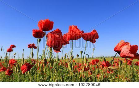 wild red poppy flowers on blue sky background