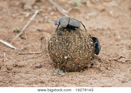 Dung beetle rolling a ball of dung on the ground poster