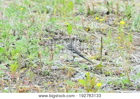 White wagtail, young bird. The wagtails form the passerine bird genus Motacilla.