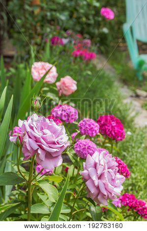 Flowers of a pink rose against the background of a blossoming sweet-william in a summer garden