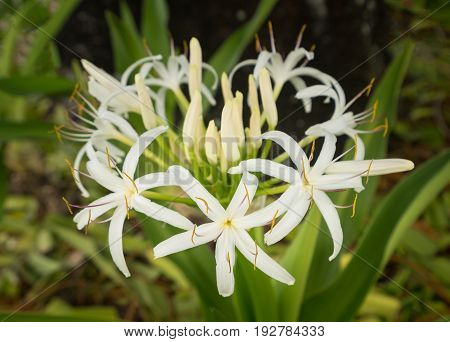 The white spider lily plant or crinum asiaticum grows from a bulb in Maui in Hawaii