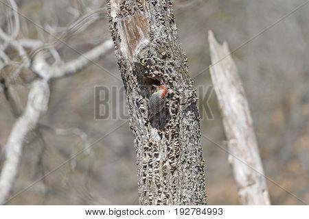 Red Bellied Woodpecker on its nest tree in Devils Den State Park in Arkansas