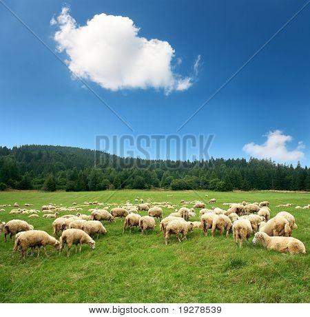 Herd of sheep on beautiful mountain meadow