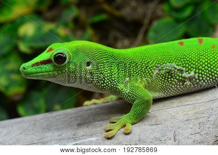 A green Madagascar day gecko looks pensive as it moves around its environment.