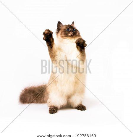 Young siberian neva masquarade color-point cat on white background
