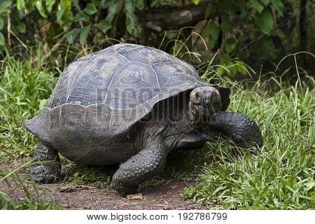 The largest living species of tortoise, one of the longest-lived vertebrates