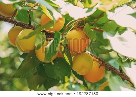 Ripe Sweet Apricot Fruits Growing On A Apricot Tree Branch In Orchard