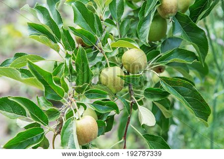 Apple Fruits Growing On A Apple Tree Branch In Orchard.