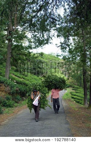 Dalhousie, Himachal Pradesh, India -July 05, 2009: Two Himachali men are carrying a big heavy bundle of leaves on the hilly road for arranging fuel for cooking at Dalhousie in India on 05 July, 2009.